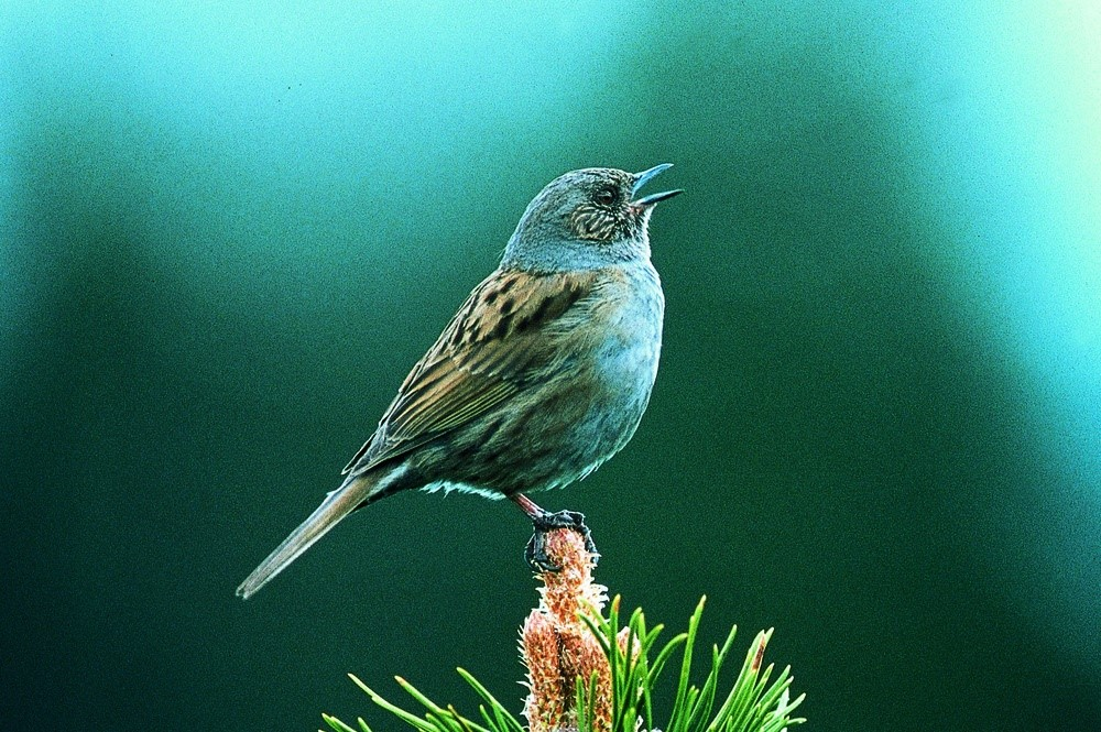 ptica pevka